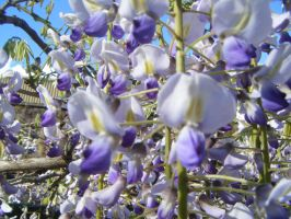 Wisteria closeup by cianna