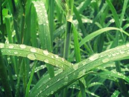 Dew on the Grass by Netickque