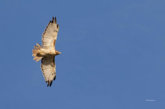 Red-tailed Hawk by RickDunlap2