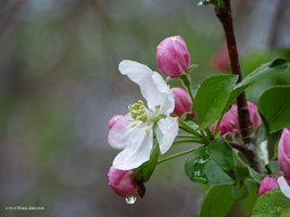 Apple blossom spring by Mogrianne