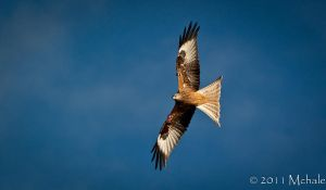 Red Kite by HawkPhotographer