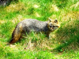 Gray Fox by SlateGray