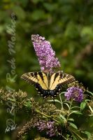 Tiger Swallowtail by SteelCowboy