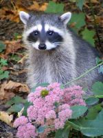 RACCOON 3 by T-Thomas