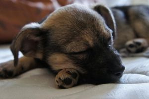 Sleeping puppy by Chris1248