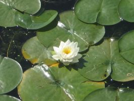 Water Lily Blossom by Nethilia