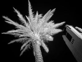 Smith Center Palm in Infrared by eprowe