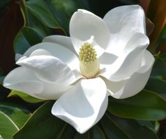 Georgia  Magnolia by Tailgun2009