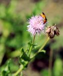 Colorado Soldier Beetle by TheSleepyRabbit