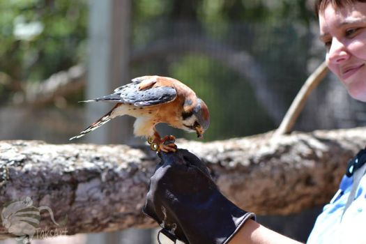Kestrel Glove trained by TaksArtPhotos