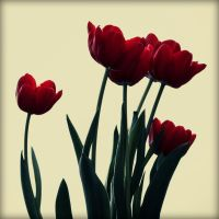 My Colourful tulips by ahley