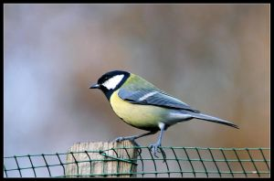 great tit 1 by 21711