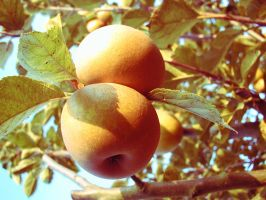 Russet Apples by TrillianAstra