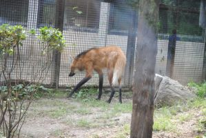 Maned Wolf 1.2 by mocking-turtle-stock