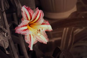 Hippeastrum by mysilaneous