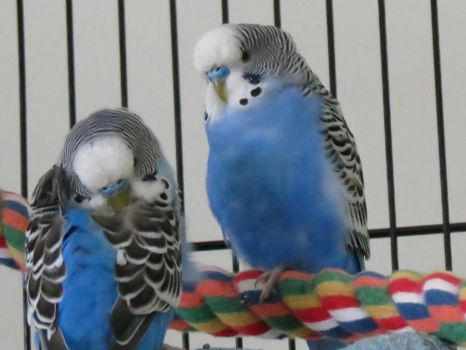 Budgies being cute by ghelfaire