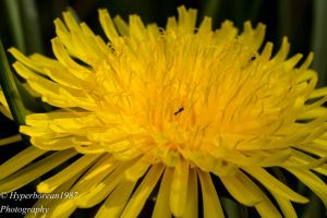 Dandilion by Hyperborean1987