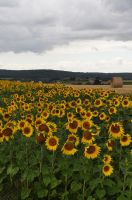 Moar Sunflowers by Chihito