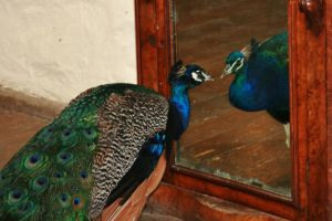 Montsalvat peacock 4 by Dewfooter