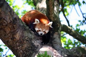 Red Panda 4 by Sabbie89