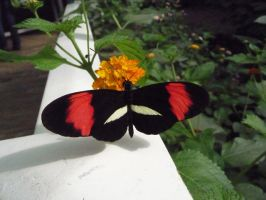 Heliconius melpomene by Yashafreak2709