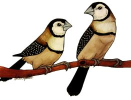 Owl finches by HollieBollie