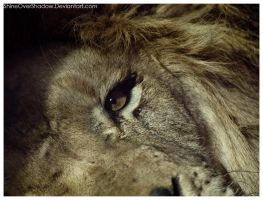 African Lion 036 by ShineOverShadow