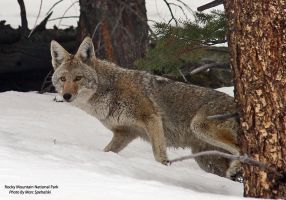 Rocky Mountain Coyote' by CubeMonster