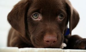 Chocolate lab puppy by buddenbohn