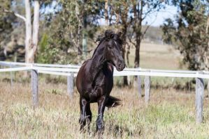 HH Andalusian Black trot front view by Chunga-Stock