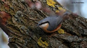 Kleiber / Nuthatch 6 by bluesgrass