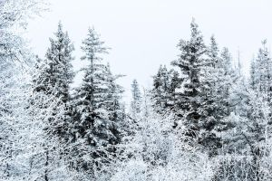 Frosty Trees and Chickadees by Fallynseyes
