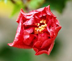 close-up of red hibiscus flower by a6-k