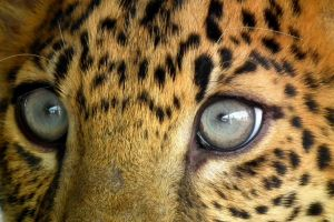 Leopard's Eyes by BioHazardSystem