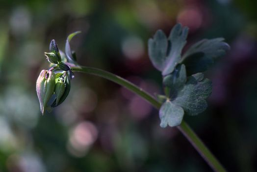 Columbines Are Coming! by organicvision