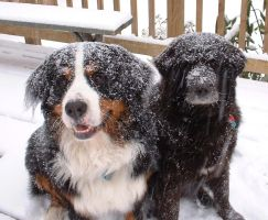 snow dogs by Maginater