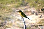 Bee eater by DulaniY