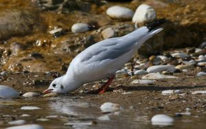 Seagull Drinking2 by Redherc46