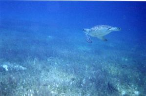 sea turtle1 by dlc-nature-stock