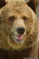 BROWN BEAR by kimpy23