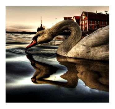 Swan by martinasdf