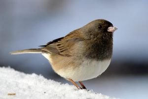 Junco by mozella78