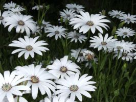White flowers by Etherick