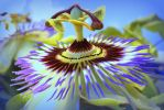 Passion Fruit flower... by smfoley