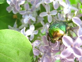 Huge beetle on a lilac by xaotherion
