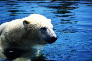 Polar Bear 002 by tastybedsore