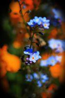 Forget-me-nots and Fresias by photobfurness