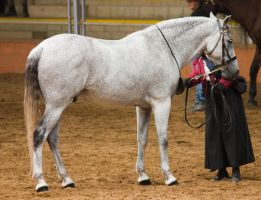 STOCK - 2014 Andalusian Nationals-71 by fillyrox