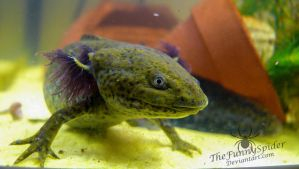 Axolotl - Ambystoma mexicanum - female by TheFunnySpider
