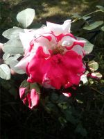 Screw red, I paint the roses pink by mb111995